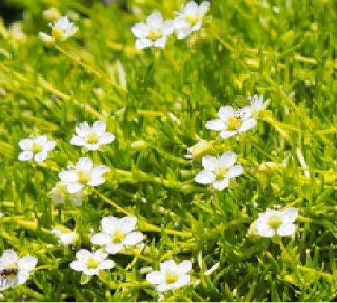 Sagina procumbens T 9