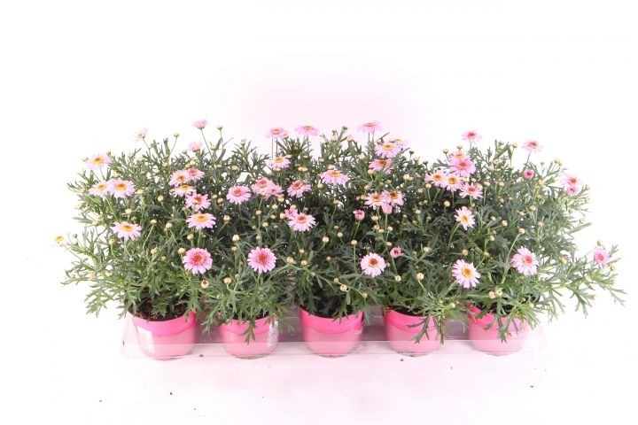 Argyranthemum frutescens T 10,5 ROSA