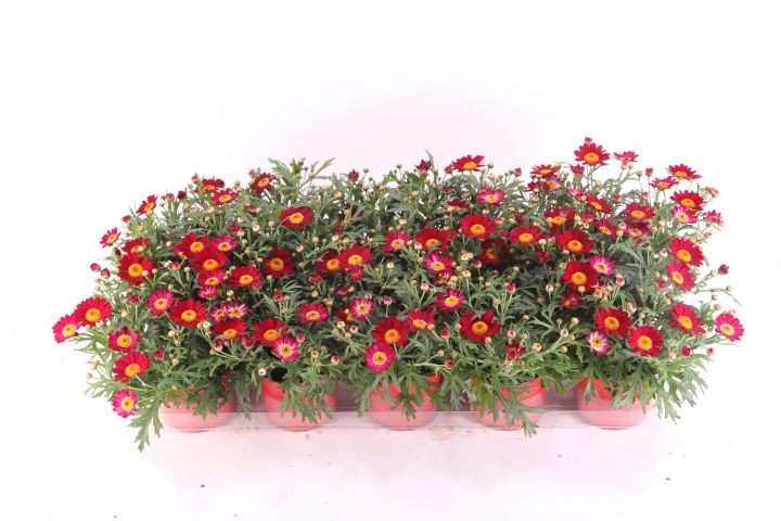 Argyranthemum frutescens T 10,5 ROT
