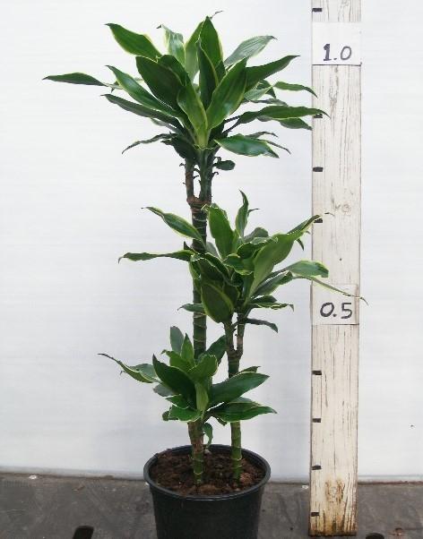 Dracaena deremensis   'Gold Coast'   T 24  (60/30/15)   110 cm