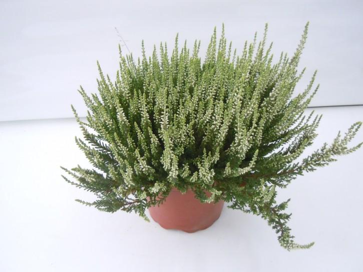 Calluna vulgaris T 17 GardenGirls® WEISS