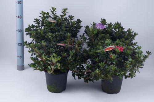 Azalea japonica T 17 MIX
