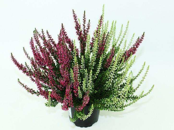 Calluna vulgaris T 11 GardenGirls® TWIN