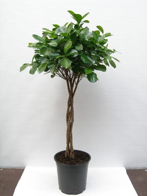 Ficus 'Moclame'   T 24   Stamm geflochten   110 cm