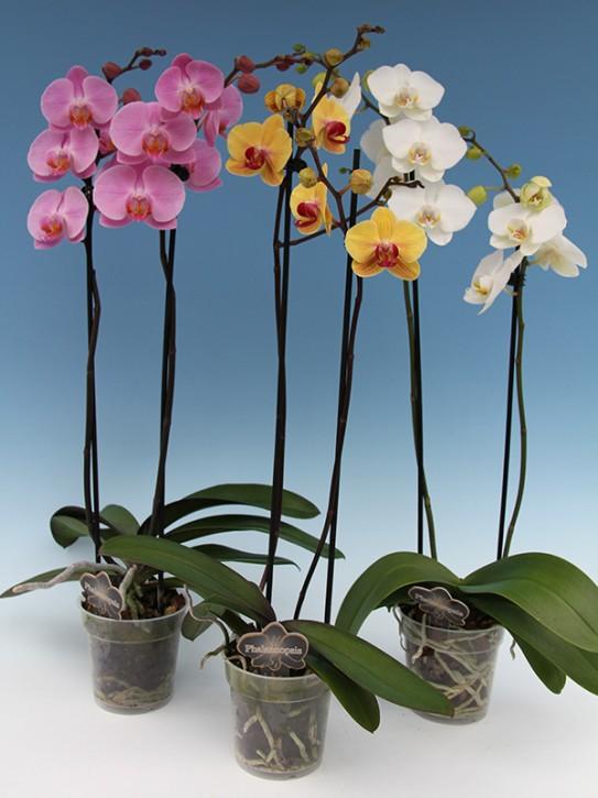Phalaenopsis-Hybriden T 12 (2 Triebe) Mix