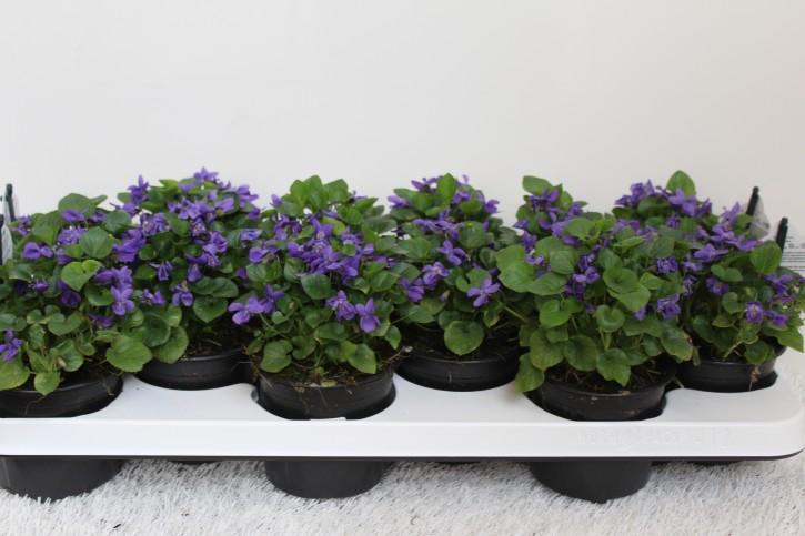 Viola odorata T 10,5 • VE 10