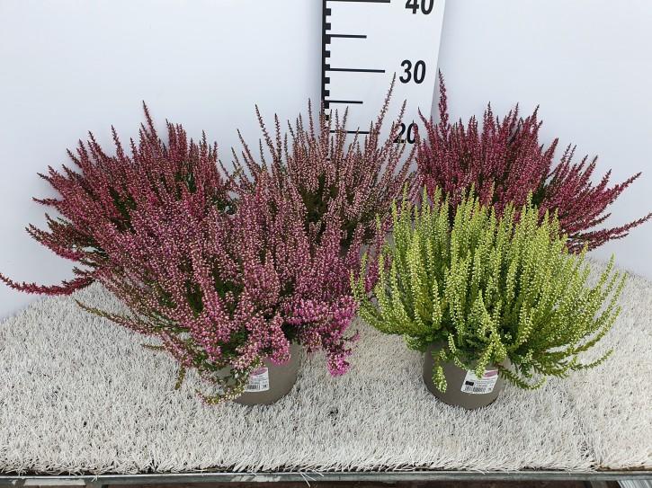 Calluna vulgaris T 13 GardenGirls® ROSA