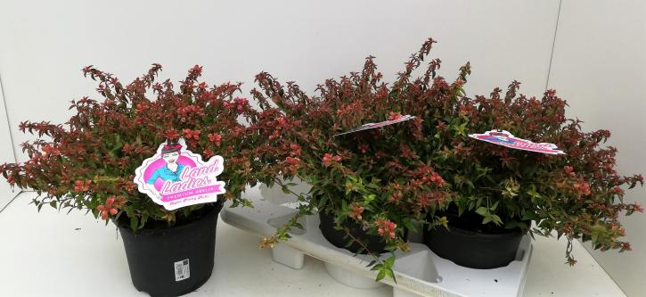 Abelia grandiflora T 19 'Lynn Pinky Bells'