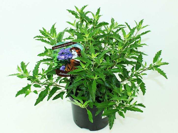 Caryopteris clandonensis T 19