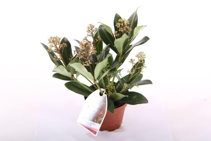 Skimmia japonica 'Rubella' T 10 (3-4 Dolden)