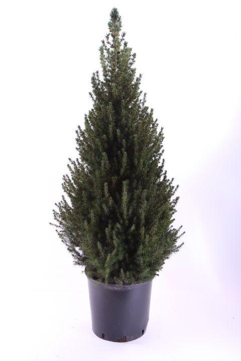 Picea glauca 'Conica'   T 32   110 cm