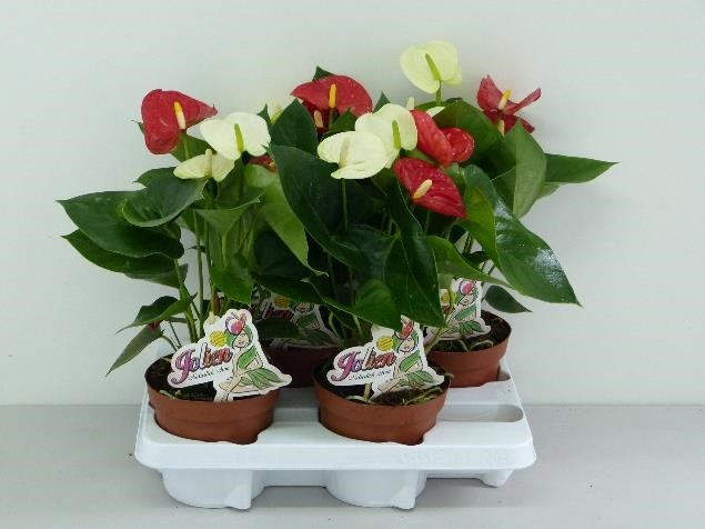 Anthurium-Andreanum Hybrid T 14 (rot + weiß) 'Sierra' TWIN