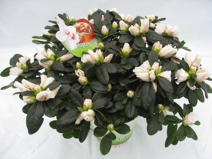 Rhododendron simsii 'Veronique' T 14 (25 - 27,5)