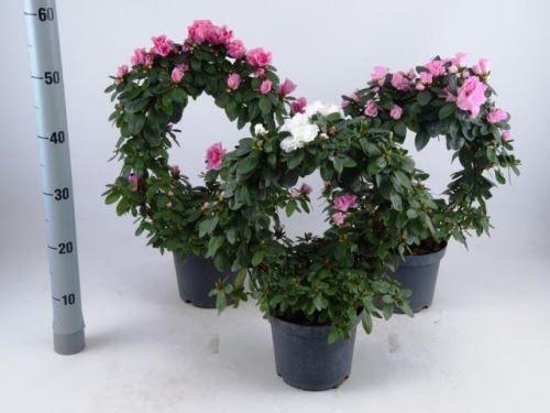 Rhododendron simsii T 17 Bogen 50 cm MIX
