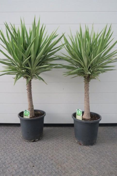 Yucca elephantipes 'Jewel'   T 25   Stamm 100 cm
