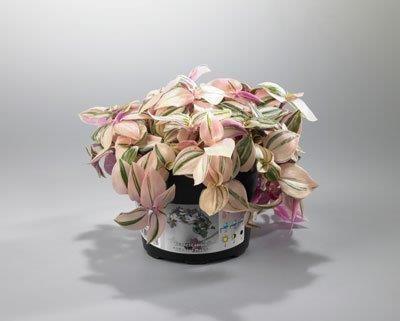 Tradescantia albiflora 'Tricolor Rosa' T 10,5