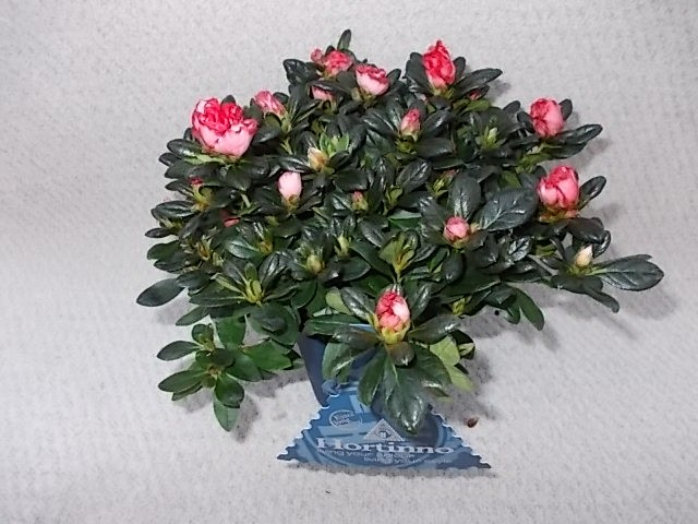 Rhododendron simsii 'Christine Magic' T 13 (20-22,5)