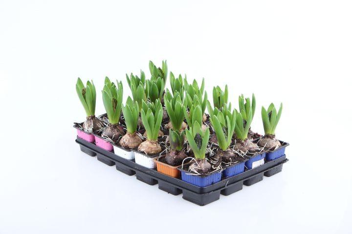 Hyacinthus orientalis T 7 x 7 (1ppp) MIX • VE 24