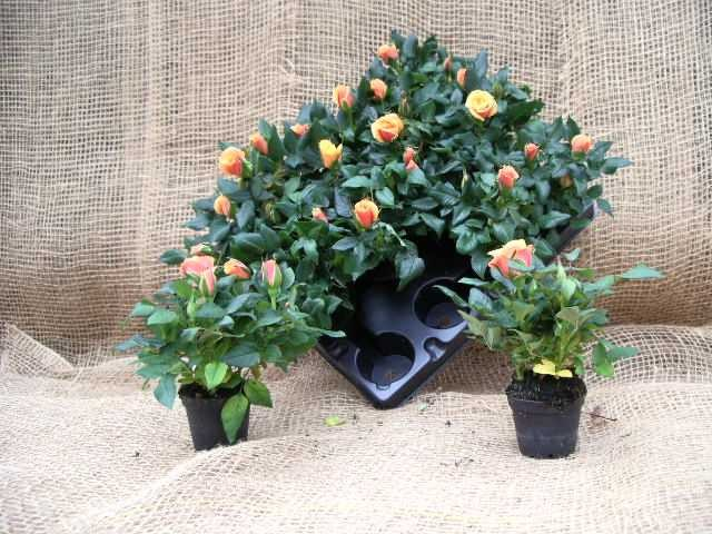 Rosa-Hybriden KUVERT T 6 Mini ORANGE