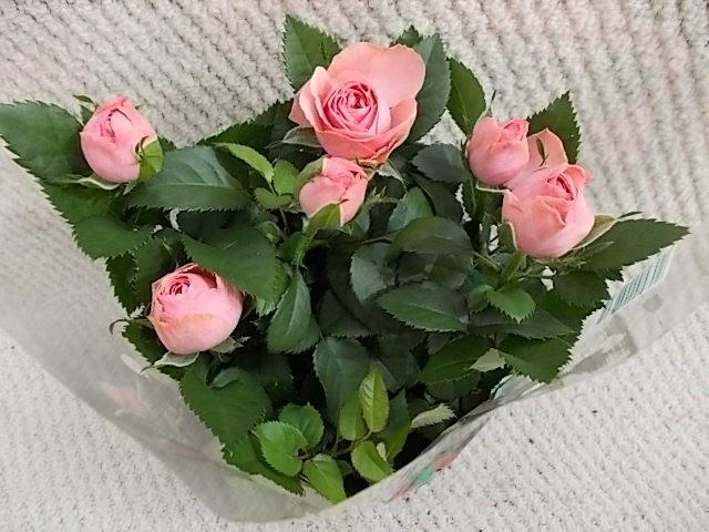 Rosa-Hybriden T 10,5 ROSA