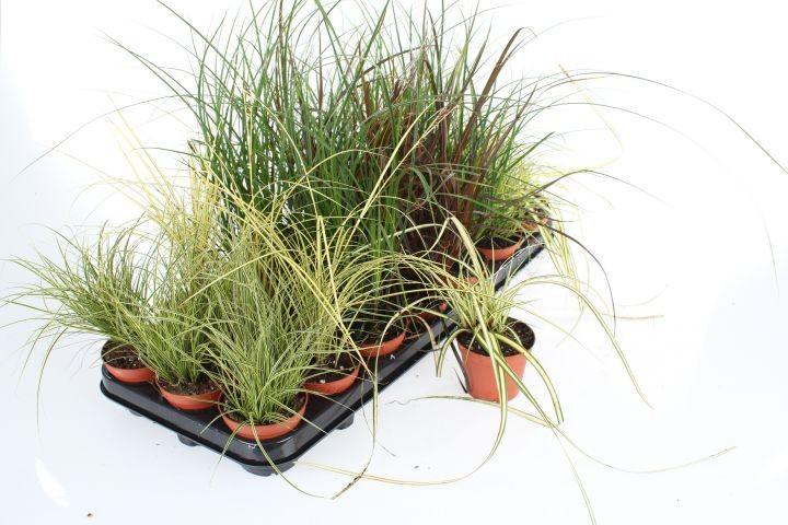 Carex T 8 Mix-Sortiment • VE 21