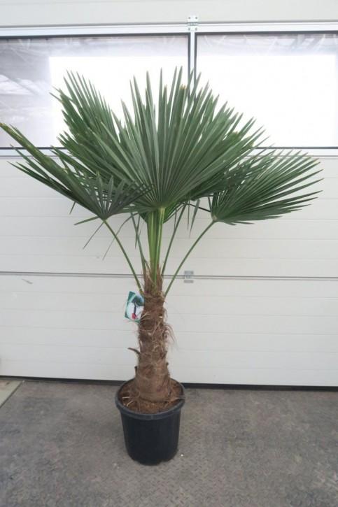 Trachycarpus fortunei T 36   180 cm