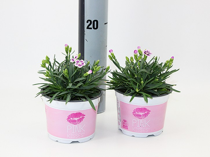 Dianthus caryophyllus 'Pink Kisses' T 12
