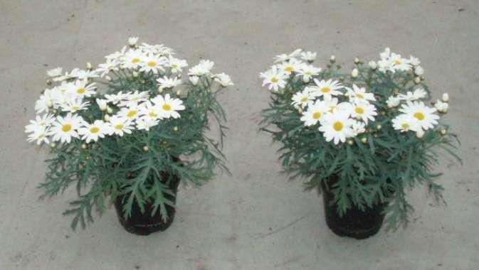 Argyranthemum frutescens T 11 WEISS