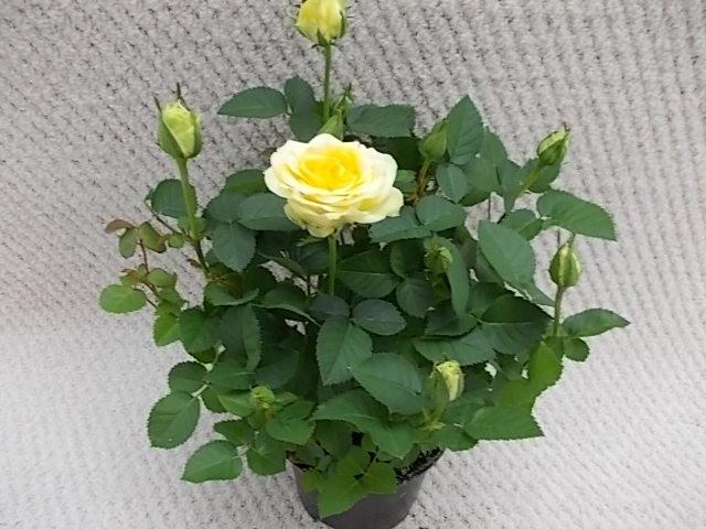 Rosa-Hybriden T 10,5 GELB