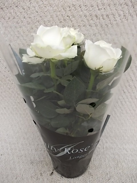 Rosa-Hybriden T 10,5 'INFINITY ROSE' WEISS