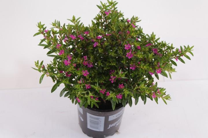 Cuphea hyssopifolia T 11 ROT/LILA
