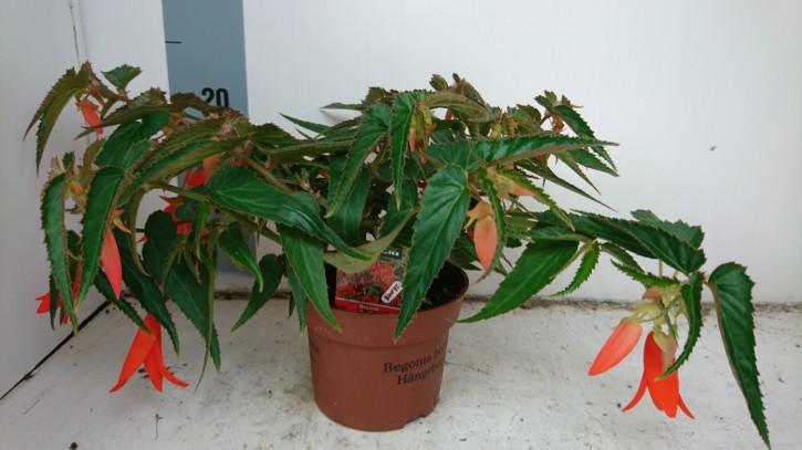 Begonia x boliviensis 'Bonfire' T 13