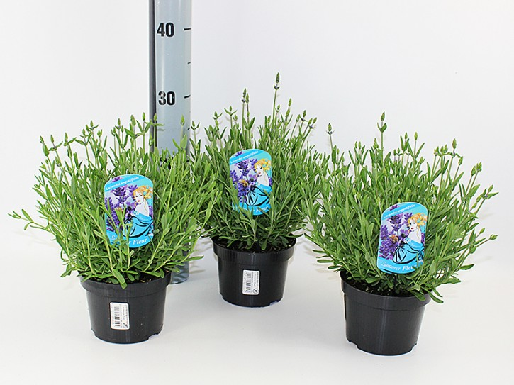 Lavendula angustifolia T 13