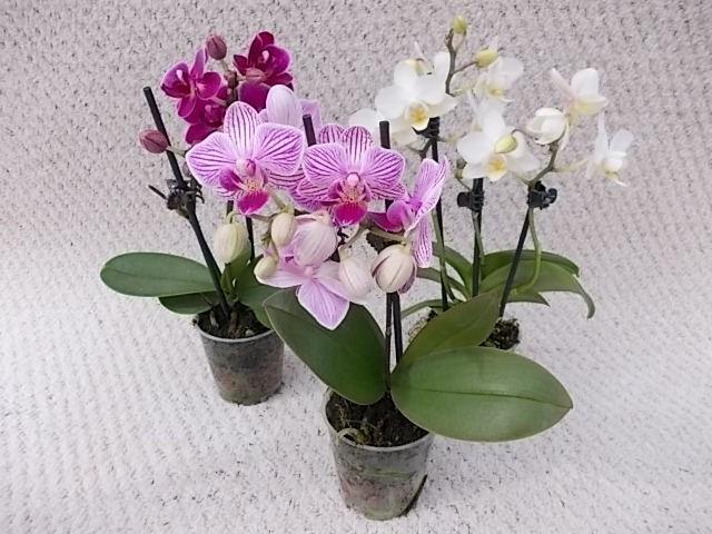Phalaenopsis-Hybriden T 6 (2 Triebe) MINI Mix