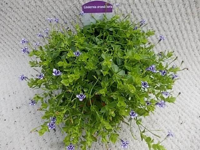 Lindernia grandiflora T 11