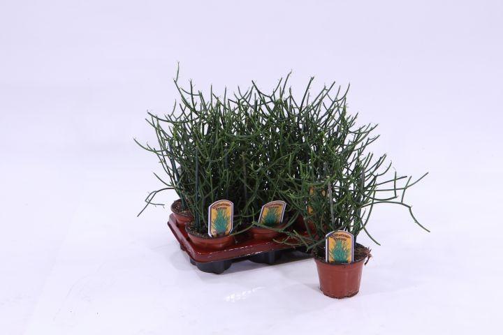 Euphorbia tirucalli T 13