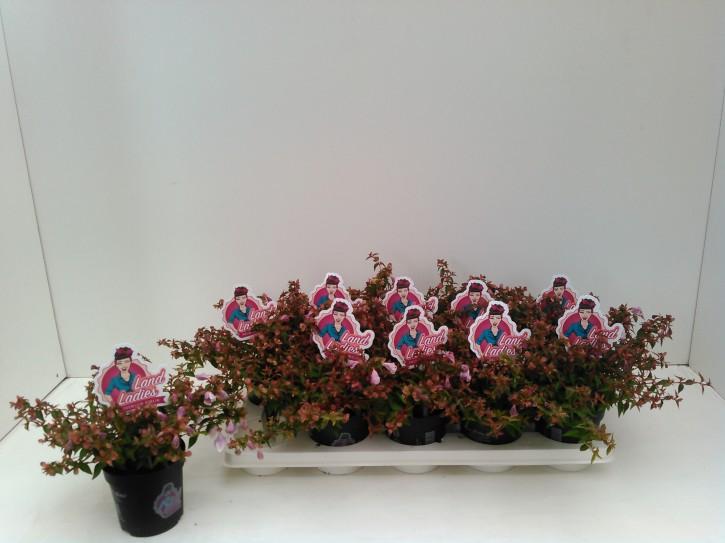 Abelia grandiflora 'Lynn Pinky Bells' T 11