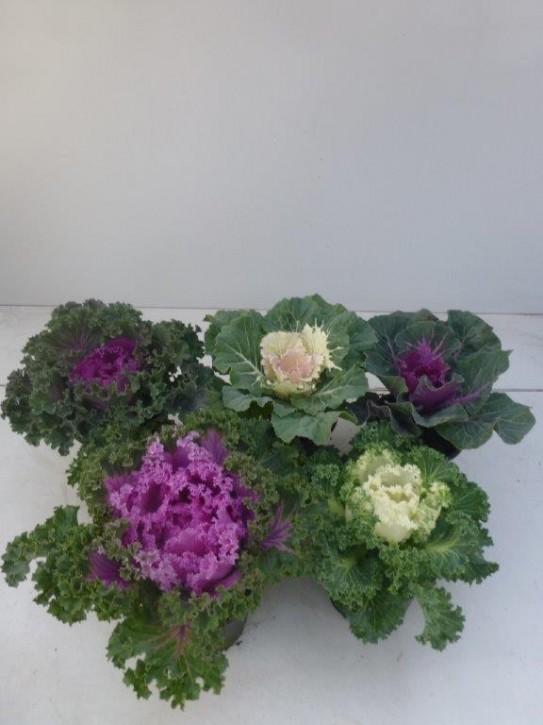 Brassica oleracea T 12 KRAUSS Mix