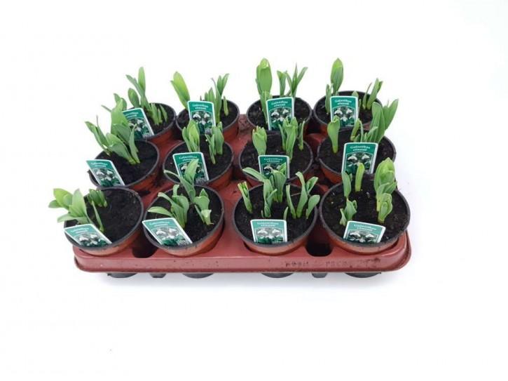 Galanthus nivalis T 9