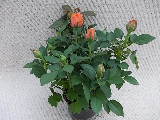 Rosa-Hybriden T 10,5 ORANGE