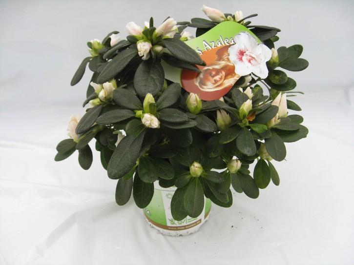 Rhododendron simsii 'Veronique' T 10,5 (15 - 17,5)