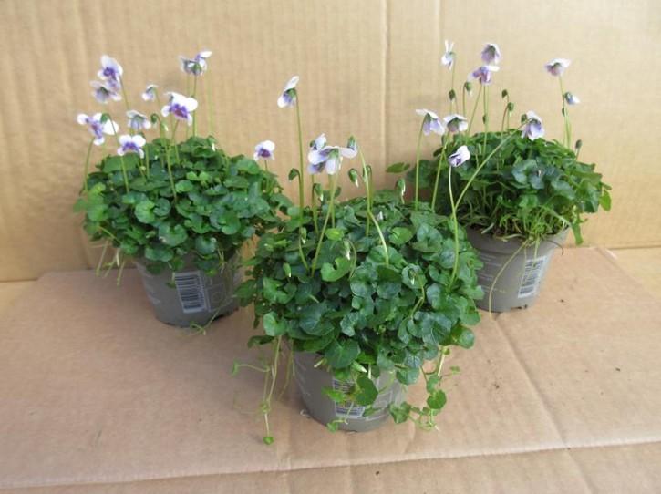 Viola hederacea T 9