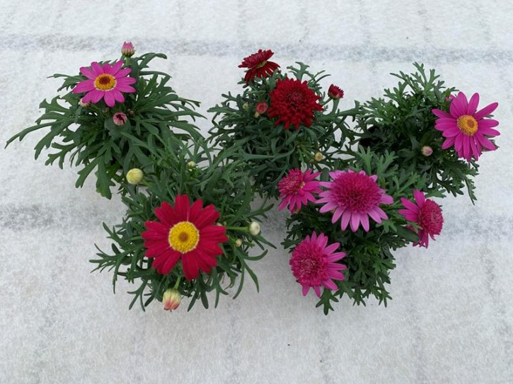 Argyranthemum frutescens T 6 Mini MIX