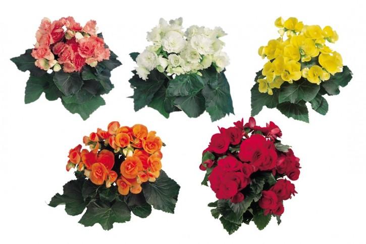 Begonia-Elatior-Hybriden T 12 ROT • VE 8