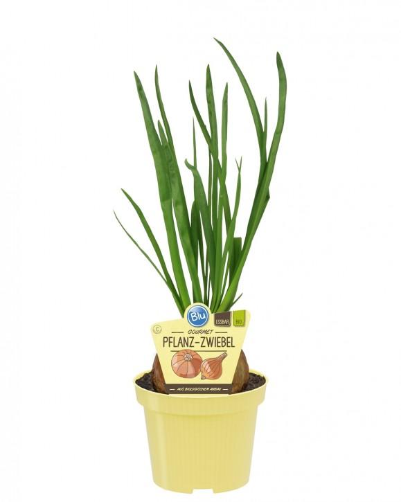 Blu® Bio Allium cepa T 12 • VE 10