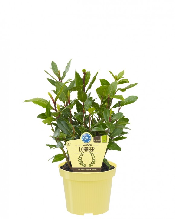 Blu® Bio Laurus nobilis T 12 • VE 10