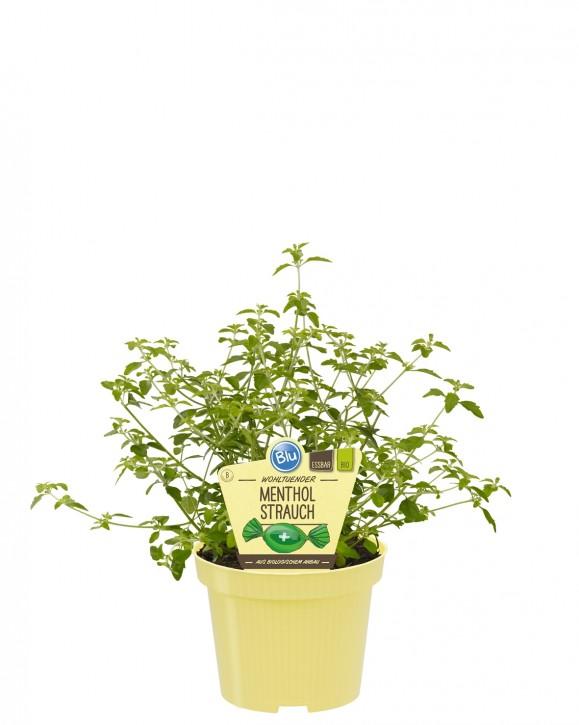 Blu® Bio Prostanthera rotundifolia T 12 • VE 10