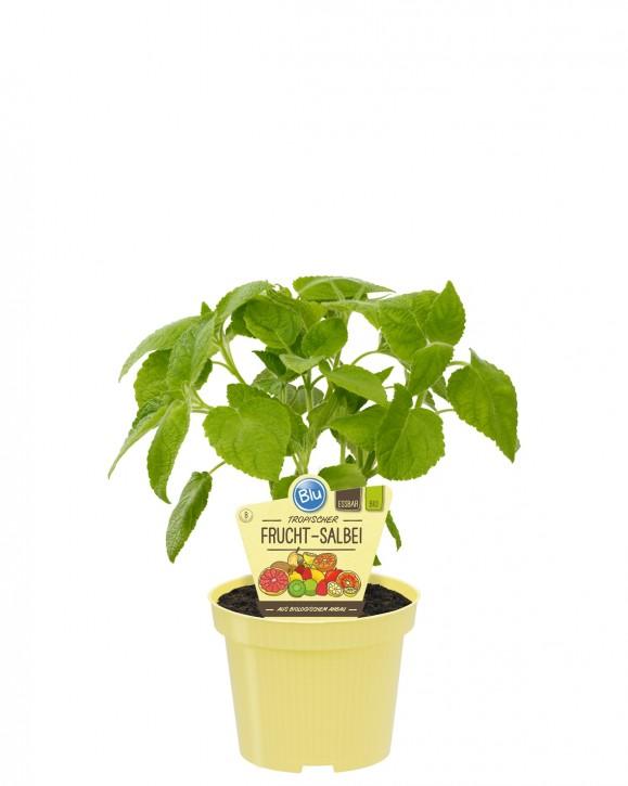 Blu® Bio Salvia dorisiana T 12 • VE 10