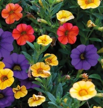 Calibrachoa MILL.BELLS 'Karneval' T 12 HQ