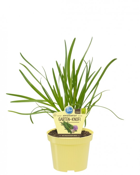 Blu® Bio Allium Hybrid Knoblauch T 12